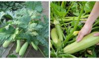 Що потрібно зробити, щоб кабачки родили до осені. Корисні поради для городників.