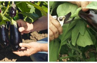 Як правильно доглядати за баклажанами в серпні, щоб мати гарний урожай.