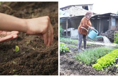 Що посіяти в серпні на пустих або звільнених грядках, щоб осінню зібрати врожай