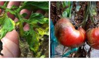 Ефективні народні засоби від фітофтори на помідорах. Збережіть свій урожай простими методами.