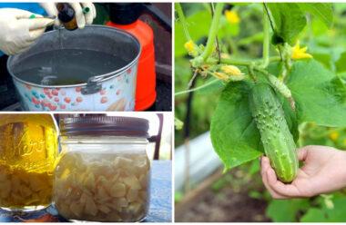 Найкращі народні засоби, які захистять огірки від хвороб і шкідників.