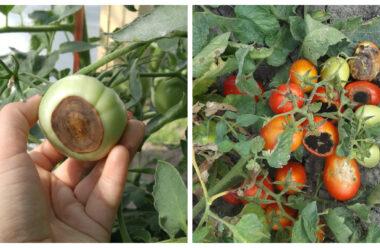 Вершинна гниль томатів — дієві методи порятунку та лікування