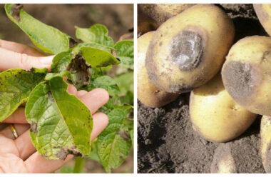 Найбільш дієві народні засоби від фітофтори картоплі.