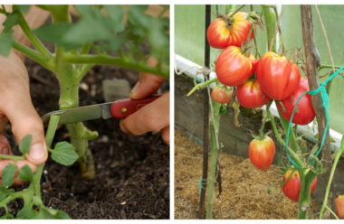 Для більшого урожаю помідорів треба обривати листя. Дізнайтеся як правильно це зробити.