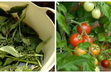 Оригінальне добриво з живокосту, яке допомагає прискорити дозрівання помідорів