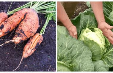 Що варто зробити, щоб не тріскалася морква і капуста. Поради городникам.