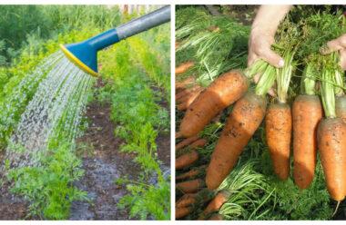 Перевірені методи підживлення моркви, за допомогою яких вона швидше росте і дозріває.