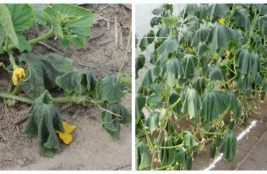 Чому в'яне листя огірків. Головні причини, і що робити.