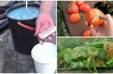 Щоб не втратити урожай, захищаємо помідори і огірки від палючих променів сонця. Народні методи.