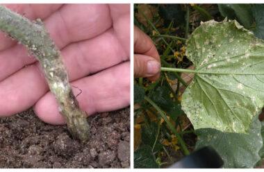 Рятуємо огірки: коренева гниль і борошниста роса. Саме час цьому запобігти. Народні методи.