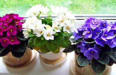 Самі важливі секрети вирощування та догляду за фіалками. Дотримуйтесь їх, і ваша фіалка буде цвісти пів року.