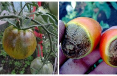 Чому на грядках чорніють помідори і як цьому запобігти. Поради для городників.