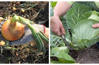 Головні робити на городі в серпні, які варто виконати кожному, щоб мати гарний урожай.