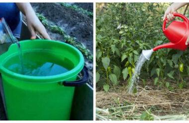 Потужне натуральне добриво для підгодівлі перцю та баклажанів у період дозрівання плодів