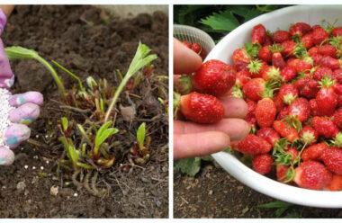 Чим підживити полуницю в серпні, щоб наступного року мати гарний урожай