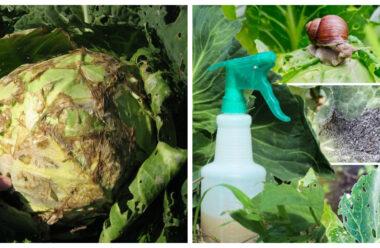 Не дайте шкідникам з'їсти вашу капусту. Поради які допоможуть зберегти урожай