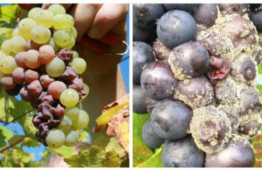 Чому гниють грона винограду і як з цим боротися. Корисні поради, які допоможуть зберегти урожай.