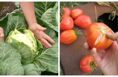 Чому тріскаються овочі, і як цьому запобігти. Корисні поради.