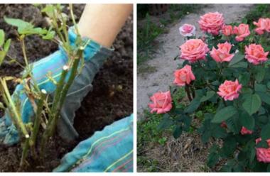 «Сусіди» для троянди в саду, що краще садити поряд з цими квітами.