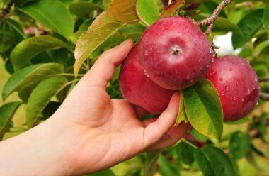 Щоб яблука довго зберігалися, їх треба правильно і вчасно збирати. Головні секрети про які варто знати.
