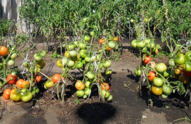 Дієві методи які допоможуть прискорити дозрівання помідорів  у відкритому ґрунті