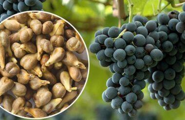 Кісточки винограду неймовірно корисні: покращують стан шкіри, запобігають появі раку.