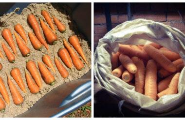 Кращі способи зберігання моркви в зимовий час. Городникам на замітку.