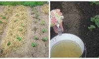 Як правильно підготувати полуницю до зими, щоб мати гарний урожай наступного року.