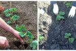 Готуємося до посадки полуниці: де садити, чим підживити, щоб мати гарний урожай