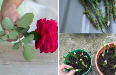 Вирощуємо троянду з черешка. Спосіб, за яким точно приживеться