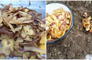 Шкірка з картоплі — це корисне добриво для усіх рослин. Як зберегти її до весни