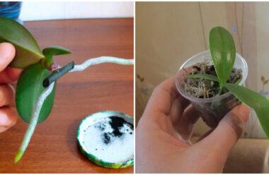 Розмноження орхідеї з її «Діток». Це просто, головне дотримуватися цих правил.