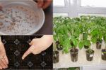 Як правильно підготувати насіння помідорів, щоб мати гарний врожай плодів.