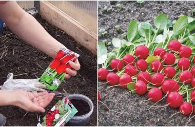 Ранній урожай редиски за 25 днів. Як правильно садити, та як поливати.