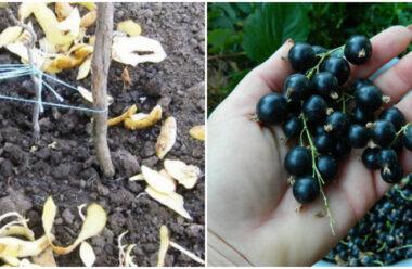 Підживлення смородини картопляним лушпинням, щоб мати великий врожай