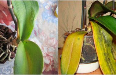 Чому пропадає листя в орхідеї, та як цьому запобігти.