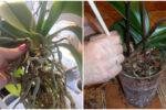 Як правильно пересаджувати орхідею, щоб вона добре прижилася, та коли це робити