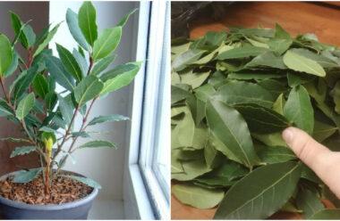 Простий спосіб вирощування лаврового листя вдома. Спробуйте!