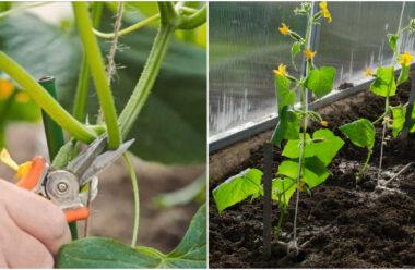 Формування огірків під час росту, щоб значно збільшити врожай. Як правильно це робити