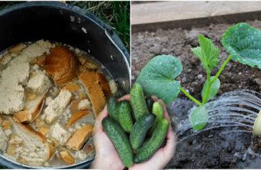 Чим підживити огірки, щоб листя не жовтіло, а урожай був аж до осені