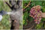 Обробка винограду від шкідників та хвороб. Для отримання доброго врожаю