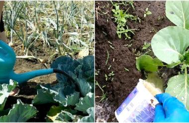 Чим краще підживити капусту,  для гарного зав'язування качанів