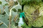 Ефективні засоби, які допоможуть захистити капусту від гусениць, слимаків та равликів
