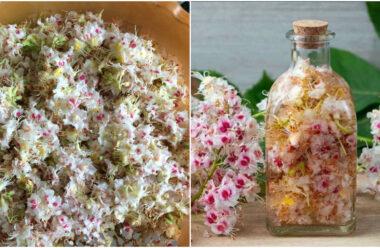 Корисні властивості цвіту каштана, про які мало хто знає. Встигніть запастись на піку цвітіння