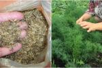 Вирощування кропу: чим обробити насіння перед посадкою, та я правильно поливати