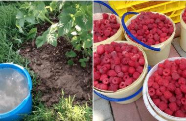 Три поради, які допоможуть отримати великий врожай малини в цьому році