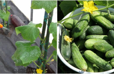 П'ять дієвих порад, як підвищити плодоношення огірків, та щоб були хрусткими та смачними