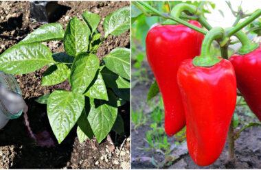 Вирощування перцю — корисні поради, щоб зібрати великий врожай