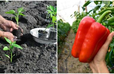 Вирощування перцю: 6 корисних порад, для гарного врожаю