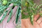 Що робити, коли на помідорах почало скручуватись листя